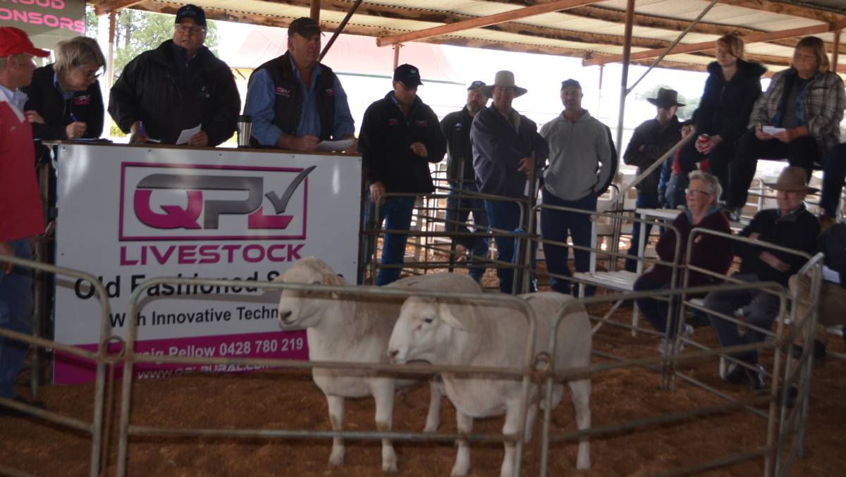 Bold competition on Aussie White rams