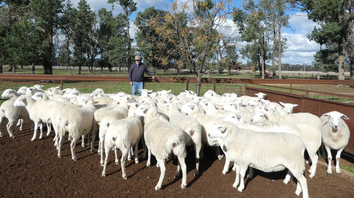 "Australian White prime lambs from Col Adler, West Wyalong,has seen growth and early maturity since using Tattykeel rams.  ""With our ewe lambs they scan better than 90 per cent conception rate. They're fantastic."""